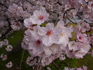 二子の丘の桜が満開