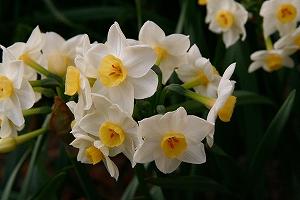 学校の小さな庭に水仙の花