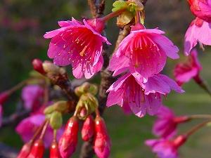 久米島はこの時期に桜が開花