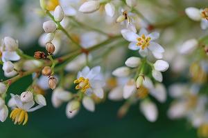 種で蒔いたナンテンが花を咲かせました