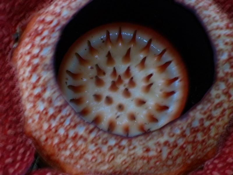 ラフレシア Rafllesia を見ました