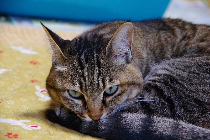 11歳になった自宅の猫ミイ