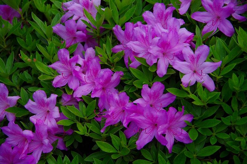毎年、連休中に咲く ツツジの花