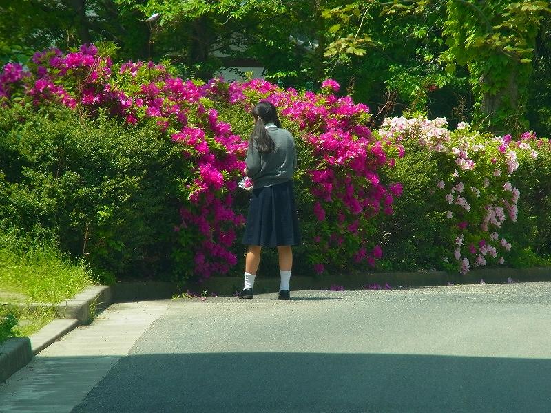 岡山市街地でツツジの花を採取