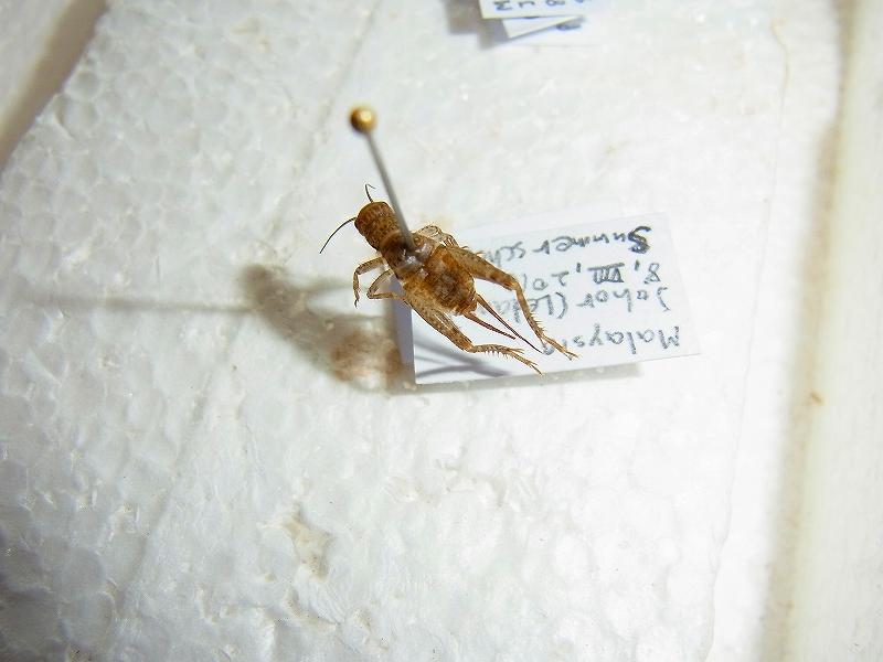 採取した昆虫を標本に