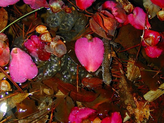 岡山県に生息する小型サンショウウオの仲間