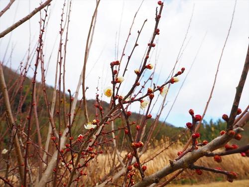 寒風下で梅も開花