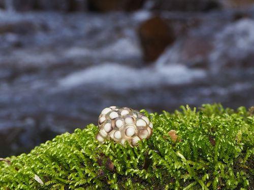 P3111236 2021-03-11 ナガレタゴガエルの卵塊_R.JPG