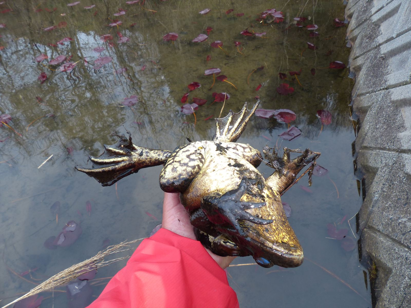 ウシガエルにニホンヒキガエルが抱接